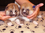 Akita inu girl 3 and 4